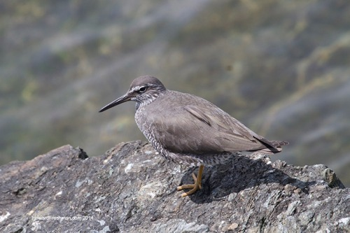 Wandering-Tattler_HowardFreshman