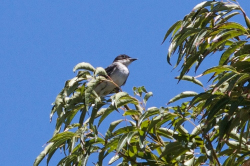 Not often seen in Southern California, this Eastern Kingbird was found in near the Colorado Lagoon golf course on July 6, 2014.